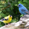 DSC_2483 American Goldfinch Indigo Bunting June 12 2016
