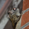 DSC_2514 Flying Squirrel June 30 2016