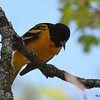 DSC_2009 Baltimore Oriole May 24 2016