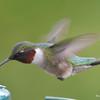 DSC_1813 Ruby-throated Hummingbird May 17 2016