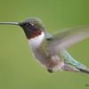 DSC_1816 Ruby-throated Hummingbird May 17 2016