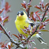 DSC_1820 American Goldfinch May 17 2016