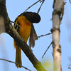 DSC_2013 Baltimore Oriole May 24 2016