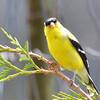 DSC_1877 American Goldfinch May 21 2016