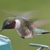DSC_1814 Ruby-throated Hummingbird May 17 2016