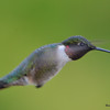 DSC_1835 Ruby-throated Hummingbird May 17 2016