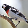 DSC_1866 Rose-breasted Grosbeak May 21 2016