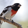 DSC_1869 Rose-breasted Grosbeak May 21 2016