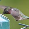 DSC_1832 Ruby-throated Hummingbird May 17 2016