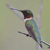 DSC_2306 Ruby-throated Hummingbird May 28 2016