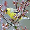 DSC_1822 American Goldfinch May 17 2016