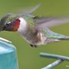DSC_1834 Ruby-throated Hummingbird May 17 2016