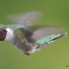 DSC_1829 Ruby-throated Hummingbird May 17 2016