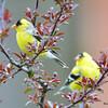 DSC_1819 American Goldfinch May 17 2016