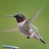 DSC_1815 Ruby-throated Hummingbird May 17 2016