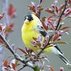 DSC_1824 American Goldfinch May 17 2016