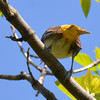 DSC_2004 Baltimore Oriole May 24 2016