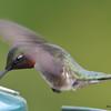 DSC_1833 Ruby-throated Hummingbird May 17 2016