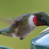 DSC_1839 Ruby-throated Hummingbird May 17 2016