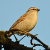DSC_2026 Chipping Sparrow May 24 2016