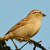 DSC_2025 Chipping Sparrow May 24 2016