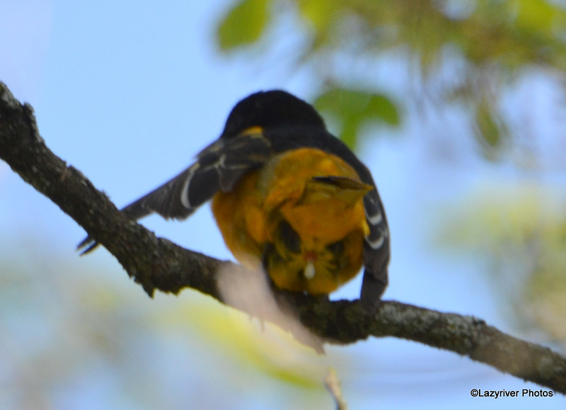 DSC_2010 Baltimore Oriole May 24 2016