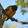DSC_2008 Baltimore Oriole May 24 2016