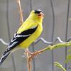 DSC_1878 American Goldfinch May 21 2016