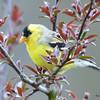 DSC_1823 American Goldfinch May 17 2016