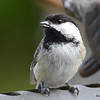 DSC_1564 Black-capped Chickadee May 14 2016