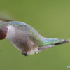 DSC_1811 Ruby-throated Hummingbird May 17 2016