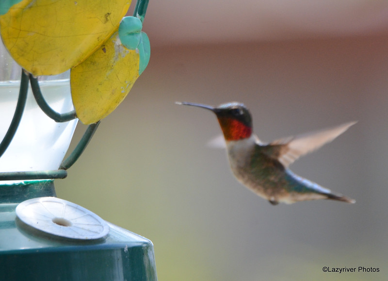 DSC_1859 Ruby-throated Hummingbird May 21 2016