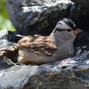 DSC_1512 White-crowned Sparrow May 14 2016