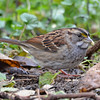 DSC_4763 White-throated Sparrow Oct 30 2016