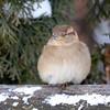 DSC_0191 House Sparrow Jan 15 2016