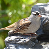 DSC_1487 White-crowned Sparrow May 14 2016