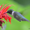 DSC_2786 Ruby-throated Hummingbird July 16 2016