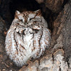 DSC_0454 Eastern Screech Owl Feb 4 2016