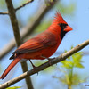 DSC_2228 Northern Cardinal May 27 2016