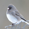 DSC_0104 Dark-eyed Junco Jan 9 2016