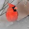DSC_0145 Northern Cardinal Jan 9 2016