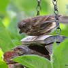 DSC_2756 Purple Finch July 15 2016