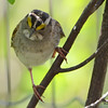 DSC_1857 White-throated Sparrow May 21 2016