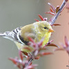 DSC_1706 American Goldfinch May 15 2016