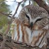 DSC_0423 Northern Saw-whet Owl Feb 4 2016