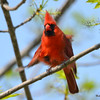 DSC_2230 Northern Cardinal May 27 2016