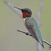 DSC_2305 Ruby-throated Hummingbird May 28 2016