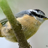 DSC_2493 Red-breasted Nuthatch June 12 2016