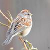 DSC_1210 American Tree Sparrow Apr 4 2016