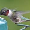 DSC_1828 Ruby-throated Hummingbird May 17 2016